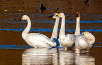 Tundra, Trumpeter, and Bewick's Swans (left to center)