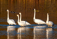 From left: Trumpeter, Bewick's, Tundra, then Trumpeters again
