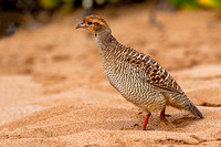 Gray Francolin on Chang's Beach