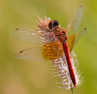 Band-winged Meadowhawk male