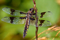Eight-spotted Skimmer female