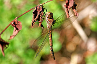 Shadow Darner Dragonfly