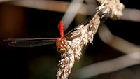 Striped Meadowhawk male