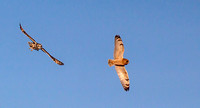 Dueling Short-eared Owls (Part 3 of 6)