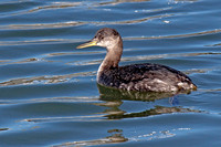 Red-necked Grebe in winter plumage