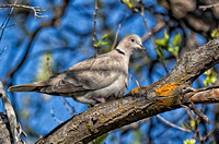 Eurasian Collared-dove
