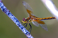 Band-winged Meadowhawk female