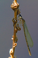 Teneral male Boreal Bluet