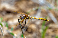 Young male Variegated Meadowhawk