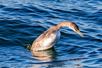 Red-necked Grebe - dive sequence
