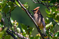 Cedar Waxwing with crest raised