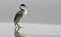 Western Grebe walking