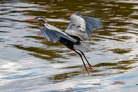Great Blue Heron Bath