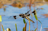 Eight-spotted Skimmer female?