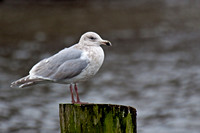 Glaucous-winged Gull, third winter