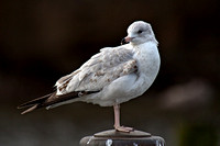 Ring-billed Gull, first winter