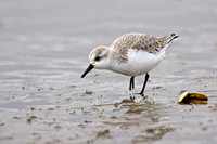Sanderling in winter plumage