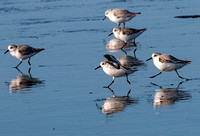 Sanderling landing sequence