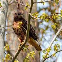 Red-tailed Hawk & Snake