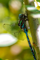 Blue-eyed Darner eating a damselfly