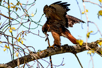 Red-tailed Hawk with snake