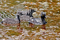 Least Grebe family