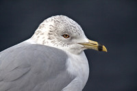 Mew Gull, second winter