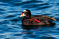 Adult Male Surf Scoter