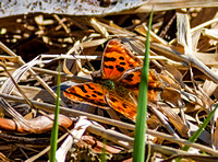Satyr Comma butterfly - first of the year for me
