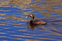 Eared Grebe with fish
