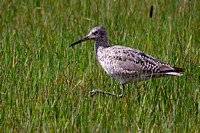 A Willet in the grass