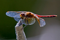Band-winged Meadowhawk male eating prey.