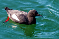 Pigeon Guillemot - 1 of 4