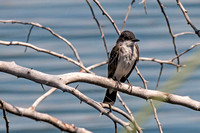 First Eastern Kingbird
