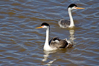 Clark's Grebes and babies