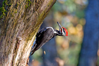 Pileated male and more chips!