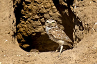 Burrowing Owl at his nest.
