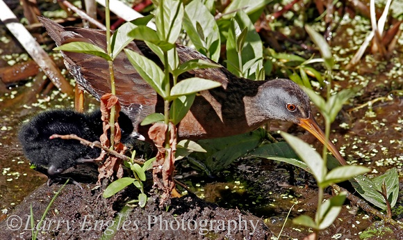 Virginia Rail and baby