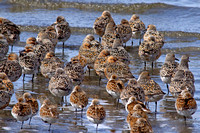 Red Knots and Dunlins