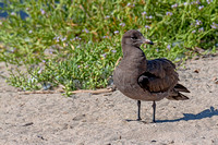 Heermann's Gull first year