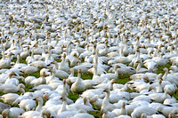 One or two Snow Geese
