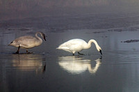 Trumpeter Swans and cignet