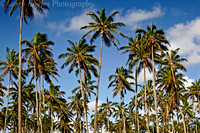 A bunch of coconut trees.