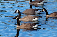 Canada Geese - Lesser race
