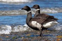 Brant Geese adults