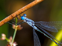 Sweetflags Spreadwing