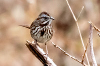 Aleutian form of Song Sparrow