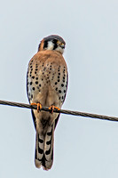 An unusually cooperative American Kestral.